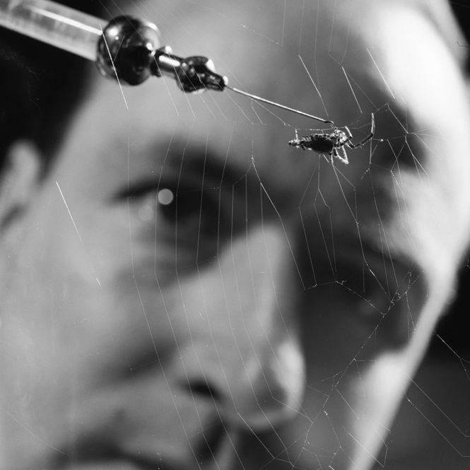 Der Wissenschaftler Petter Witt injiziert eine Spinne mit einer Substanz.
